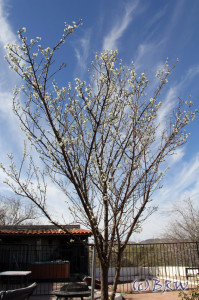 plum tree blooms in nogales