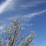 plum tree blooms in nogales