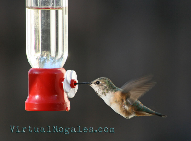Hummingbirds are very common residents and migratory visitors to Nogales