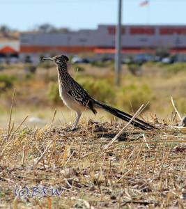 urban roadrunner in nogales, arizona