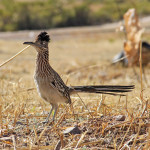 urban roadrunner in nogales, arizona